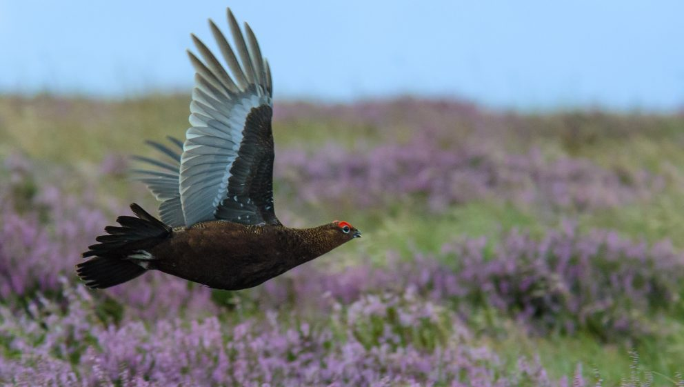 Help campaign against grouse shooting